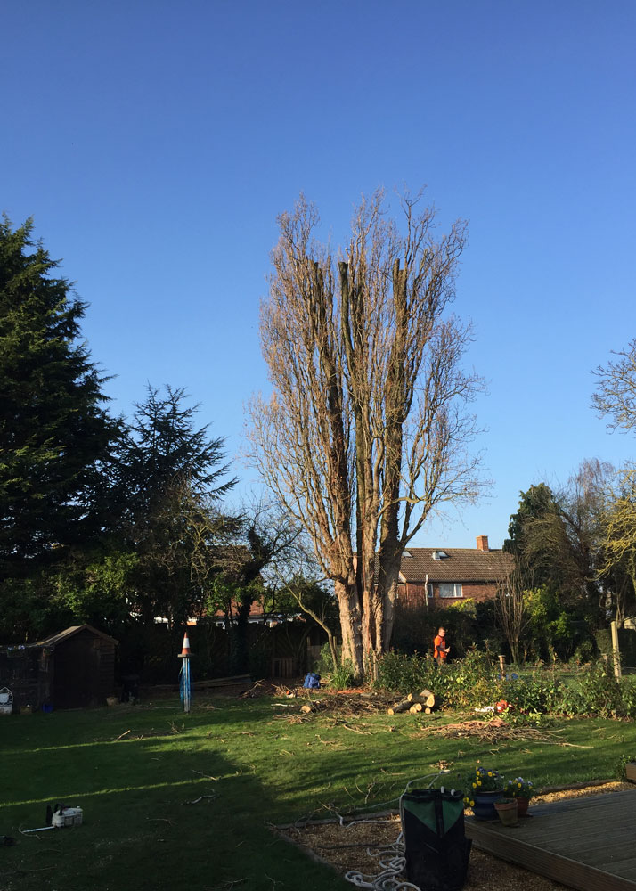 MJC-Tree-Care-popular-crown-before-and-after-2